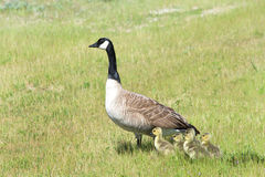 Canada goose with goslings huddled next to her in grassy field Royalty Free Stock Photography
