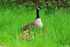 Canada goose and goslings Stock Photography