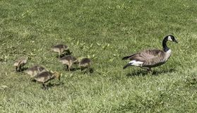 Canada goose and goslings out for a stroll. Mother Canada goose out for a morning walk with her goslings Stock Photography
