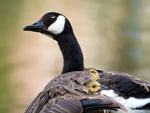 Canada goose goslings peaking their heads out under the wing of Royalty Free Stock Photo