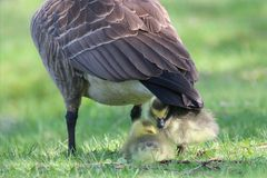 Canada Goose Goslings Sheltering Under The Mother Goose Stock Image