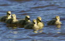 Canada Goose goslings swimming Stock Photo