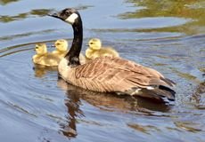 Canada Goose with Goslings Royalty Free Stock Photo