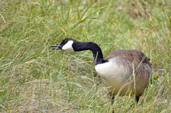 Canada goose in grass Stock Photography