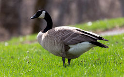Canada Goose. On the grass in a park, Alberta Canada Royalty Free Stock Image