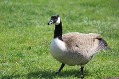 Canada goose. On green field Royalty Free Stock Photo