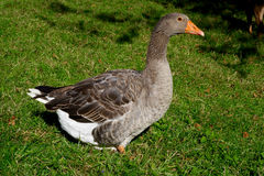 Canada goose. On green grass stock images