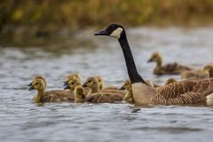 Canada goose guarding chicks Royalty Free Stock Image