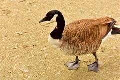 Canada goose on dry land. A Canada goose having  a stroll in a local London park royalty free stock photo