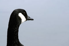 Canada Goose Head. The head of a Canada Goose with an uncluttered, out-of-focus background. Canada Stock Image