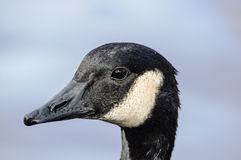 Canada Goose Head Royalty Free Stock Images