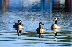 Canada Goose Hen Drake and Gosling Stock Photos