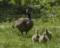 A Canada goose and her babies walking in the grass stock photo
