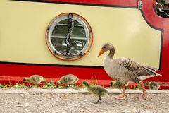 Canada goose and her chicks stock images