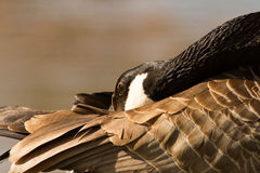 Canada Goose hiding head Royalty Free Stock Photos