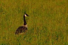 Canada goose hiding in high grass. In evening sunlight - Branta canadensis Royalty Free Stock Photos