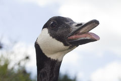 Canada Goose hissing mouth open. Close up head shot of a hissing Canada Goose, his beak is open and you can see his tongue.  Taken outside with the sky as the Stock Photography