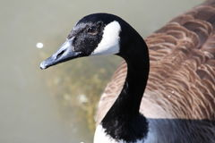 Canada Goose in the Hudson River Royalty Free Stock Photography
