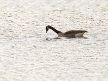 Canada Goose Hunting for Food Stock Photo