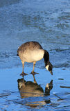Canada Goose on Ice. A Canada or Canadian Goose standing on the ice of a frozen pond at the Wildfowl and Wetland Trust Reserve at Caerlaverock in South West stock image