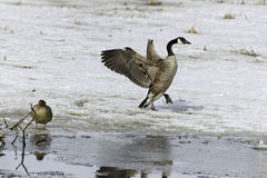 Canada Goose on ice Stock Photography