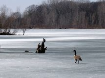 Canada Goose on the Ice. A goose, who arrived too early in the Spring, wonders why the water on the pond is hard royalty free stock images