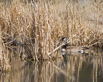 Canada Goose In Cattails Stock Images