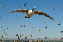 Free Canada Goose In Flight Royalty Free Stock Photos - 12945578