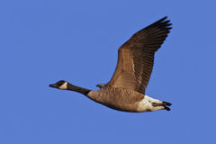 Free Canada Goose In Flight Royalty Free Stock Image - 22460836