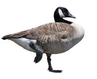 Canada Goose isolated on white. A Canada Goose posing on one leg, isolated stock images
