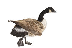 The Canada Goose Royalty Free Stock Image