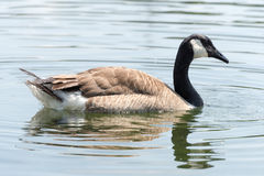 Canada Goose (Kanada Gans) swimming Stock Photography