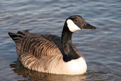 Canada Goose on Lake. Canada Goose in the water, full body shot Royalty Free Stock Photography