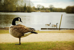 Canada Goose and lake. Canada goose in front of lake with swimming geese in background stock photos