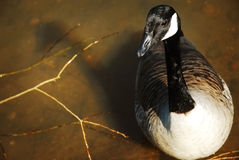A Canada goose on a lake. A Canada goose floating on a murky lake stock images