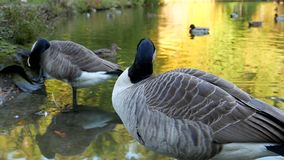 Canada goose on the lake stock video footage