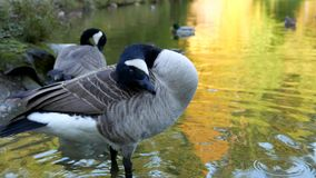 Canada goose on the lake stock video
