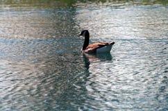 Canada Goose on Lake royalty free stock image