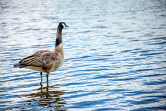 Canada goose in the lake Royalty Free Stock Images
