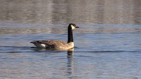 Canada Goose on Lake stock video