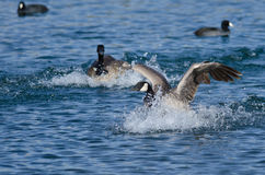 Canada Goose Landing in the Blue Water Stock Image