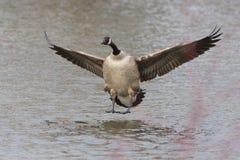 Canada Goose Landing Royalty Free Stock Image