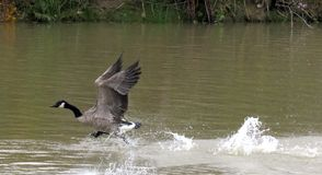 Canada Goose Landing. A Canada goose, coming in for a landing, on the lake royalty free stock photos