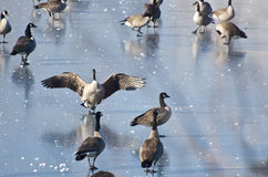 Canada Goose Landing on Frozen Lake Royalty Free Stock Photos