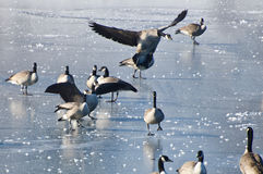 Canada Goose Landing on Frozen Lake Royalty Free Stock Photography