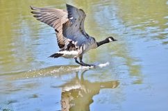 Canada goose landing on a lake. Royalty Free Stock Image