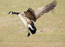 Canada goose landing Stock Photos