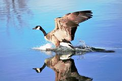 Canada Goose landing on a smooth pond in the water Royalty Free Stock Photo