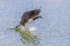 Canada Goose Landing On Water Stock Photos