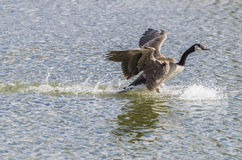 Canada Goose Landing On Water Royalty Free Stock Photography